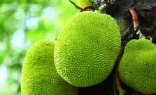 jackfruit benefits for diabetes