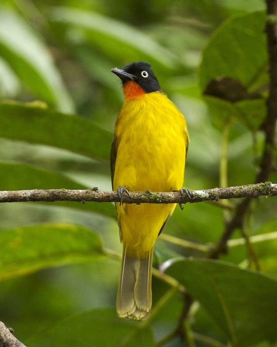 Ruby Throated Yellow Bulbul