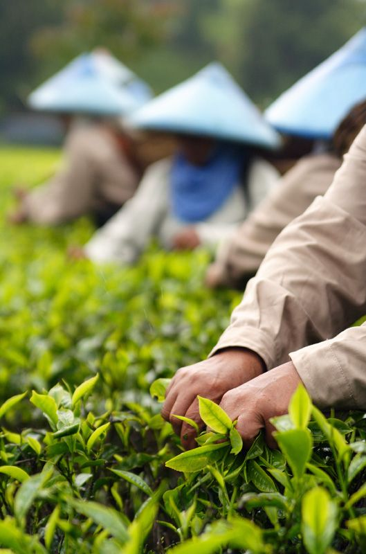 largest producer of tea