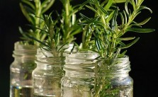 How To Care Rosemary