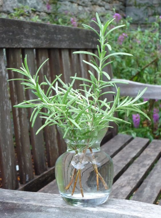 How To Propagate Rosemary In Water 1